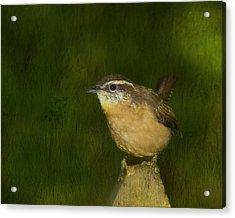 Carolina Wren Acrylic Print by Steven Richardson