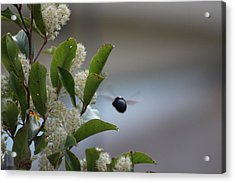 Carpenter Bee In Flight Acrylic Print by Colleen Cornelius