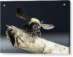 Carpenter Bee Acrylic Print