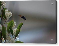 Carpenter Bee Landing Acrylic Print by Colleen Cornelius