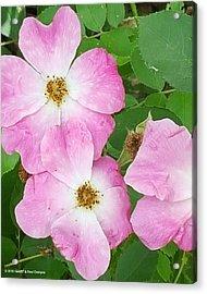 Carpet Roses Acrylic Print