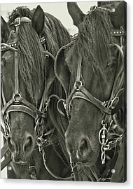 Paired Carriage Ponies Acrylic Print by JAMART Photography