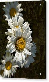 Cascading Daisy Acrylic Print by Elsa Marie Santoro