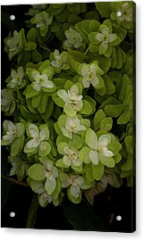 Cascading White Blossoms 3 Acrylic Print by Greg  Plachta