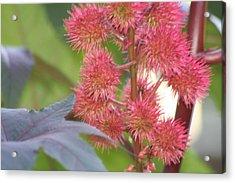 Castor Bean Flowers Acrylic Print