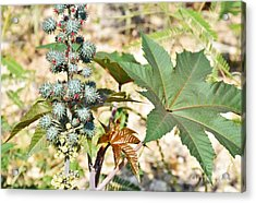 Acrylic Print featuring the photograph Castor Oil Plant by Ray Shrewsberry