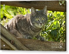 Cat And Fence Acrylic Print by John Daniels