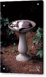 Cat Asleep In A Birdbath Acrylic Print by John Kaprielian