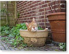 Acrylic Print featuring the photograph Cat In Empty Pot by Patricia Hofmeester
