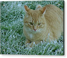Cat In Frosty Grass Acrylic Print