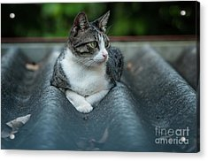Cat In The Cradle Acrylic Print
