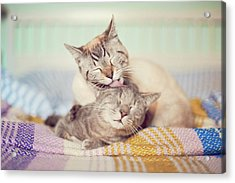 Cat Licking Another Cat Acrylic Print by Viola Tavazzani Photography