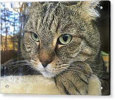 Cat Looking Outdoors Acrylic Print