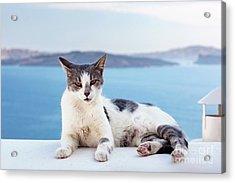 Cat Lying On Stone Wall In Oia Town, Santorini, Greece. Aegean Sea  Acrylic Print by Michal Bednarek