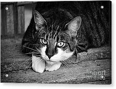Cat Naps 2 Acrylic Print