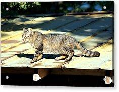 Cat On A Hot Tin Roof Acrylic Print