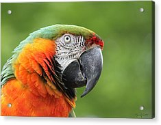 Catalina Macaw Acrylic Print