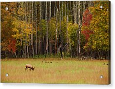 Cataloochee Valley Elk Acrylic Print