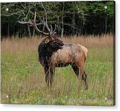 Acrylic Print featuring the digital art Cataloochee Valley Elk  by Chris Flees