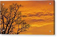 Catalpa Tree Sunrise Acrylic Print