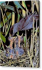 Catbird Feed Acrylic Print by Alan Lenk