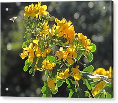 Catchlight Bee Over Yellow Blooms Acrylic Print