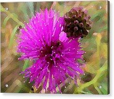 Catclaw Pink Mimosa  Acrylic Print