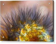 Caterpillar Hair Acrylic Print