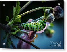 Caterpillar  Acrylic Print by Lisa Plymell