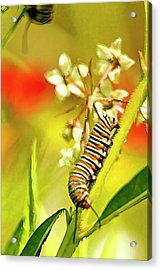 Caterpillar Stage 2 Acrylic Print by Geraldine Scull