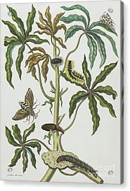 Caterpillars And Insects With Foliage Acrylic Print by Maria Sibylla Graff Merian