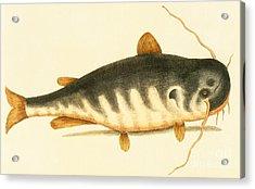 Catfish Acrylic Print by Mark Catesby