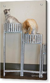 Cats In Baskets Acrylic Print