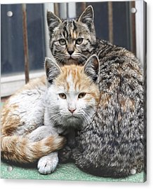 Cats Acrylic Print by Jiroyuan photography