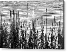 Cattails In A Minnesota Marsh Acrylic Print by Jim Hughes