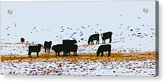 Cattle And Birds Acrylic Print