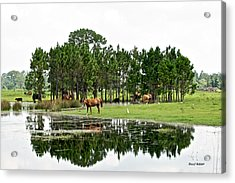 Cattle And Horse Ranch In Florida Acrylic Print