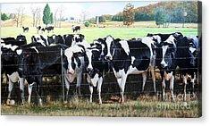 Cattle Call Acrylic Print