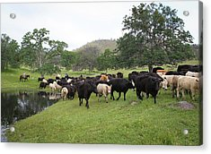 Cattle Acrylic Print by Diane Bohna