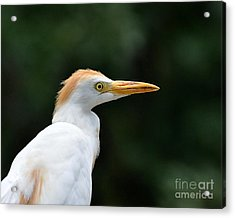 Cattle Egret Close-up Acrylic Print by Al Powell Photography USA