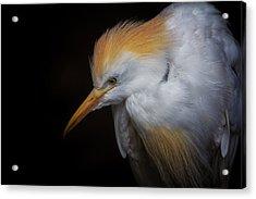Cattle Egret Closeup Portrait Acrylic Print by David Gn