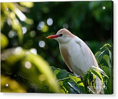 Cattle Egret In Oklahoma Acrylic Print