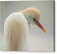 Cattle Egret Profile Acrylic Print