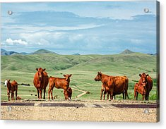 Cattle Guards Acrylic Print