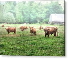 Cattle In The Mist Acrylic Print