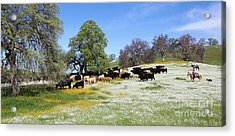 Cattle N Flowers Acrylic Print