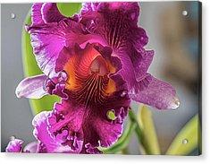 Cattleya Acrylic Print