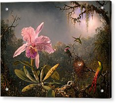 Cattleya Orchid And Three Hummingbirds Acrylic Print