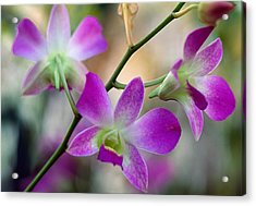 Cattleya Orchid Flower Blossoms, Close Acrylic Print