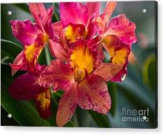 Cattleya Orchids Acrylic Print